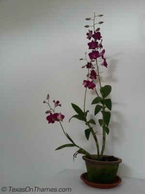 My lovely orchid.