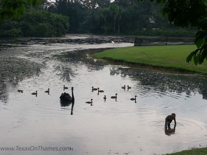 Monkey versus swans at the Singapore Botanical Gardens